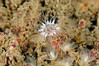 Anemone (?) & Phoronis ijimai, White Colonial Phoronid<br /> Palos Verdes, California USA<br /> ID thanks to Andy Lamb