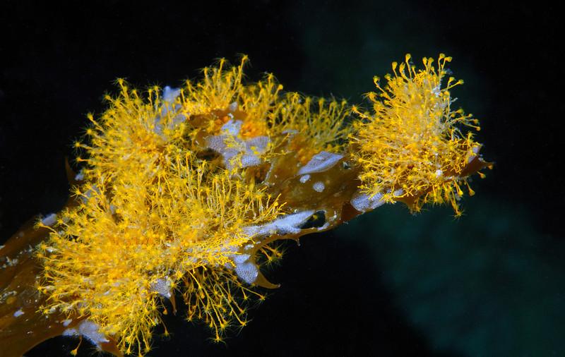 Hydroid: Garveia annulata, Orange Hydroid