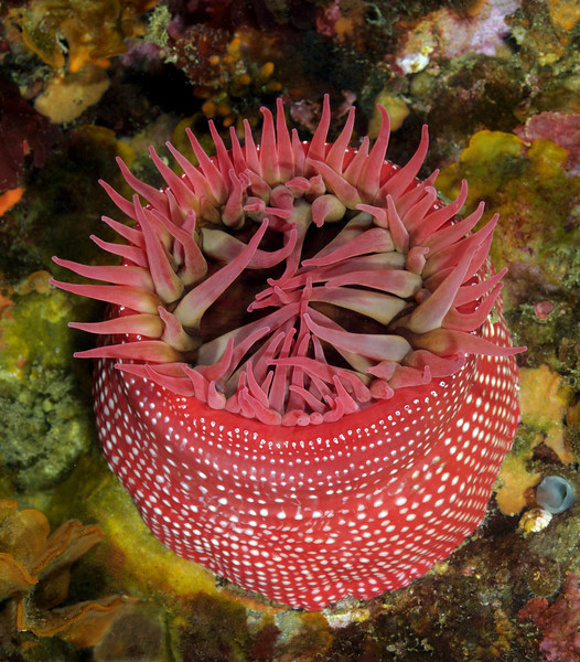 Anemone: Cribrinopsis lofotensis, previously Urticina lofotensis, White-Spotted Rose Anemone<br /> San Miguel Island, California<br /> ID thanks to Andy Lamb.