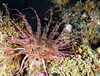 Anem: Pachycerianthus sp. Tube-dwelling Anemone.<br /> Halfway Reef, Palos Verdes<br /> ID thanks to Andy Lamb