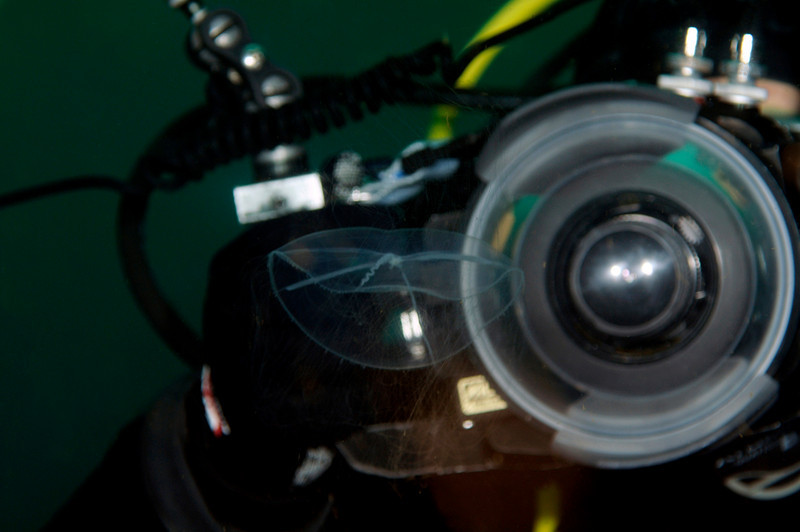 Jelly: Mitrocoma cellularia, a diaphanous jelly, being photographed from both sides.  Focusing on such transparent animals is a challenge!<br /> Open water dive, a few miles off Palos Verdes, California.