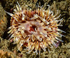 Anemone: Urticina mcpeaki<br /> Point Vicente, Palos Verdes, California