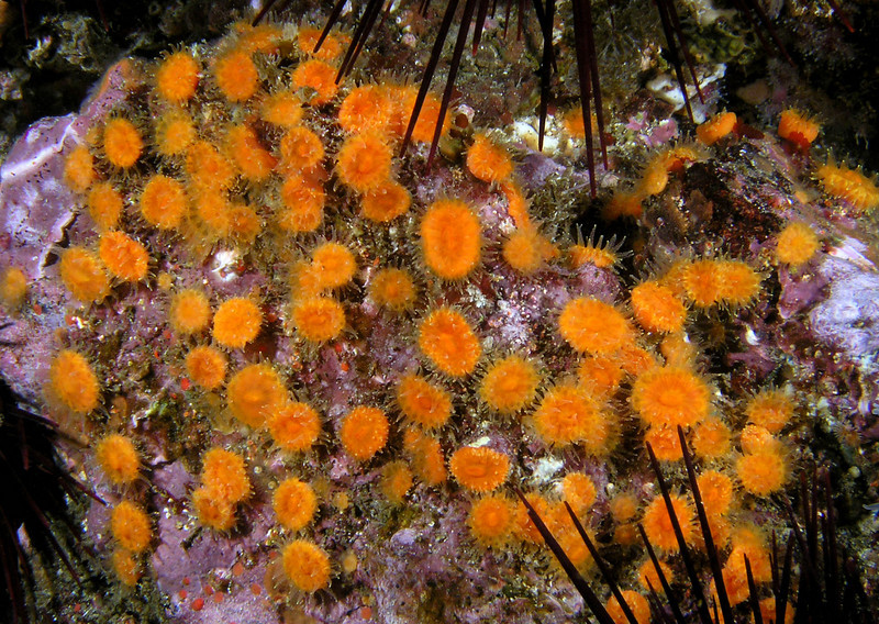 Anemone: Balanophyllia elegans, Orange Cup Coral<br /> ID thanks to Andy Lamb