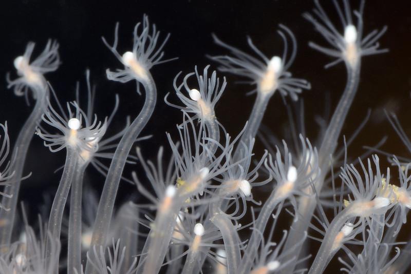 Hydroid: Hydractinia milleri, Hedgehog Hydroid (?)<br /> Palos Verdes, California