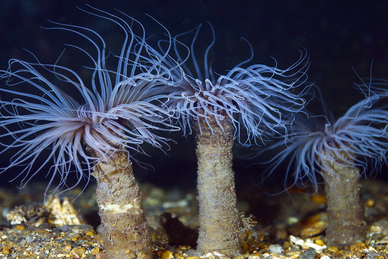 Anemone: Pachycerianthus fimbriatus, Tube Dwelling Anemones<br /> The Barge, Redondo Beach, California