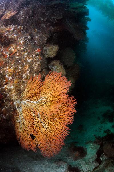Gorgonian: Sea Fan Grotto<br /> Catalina Island, California USA