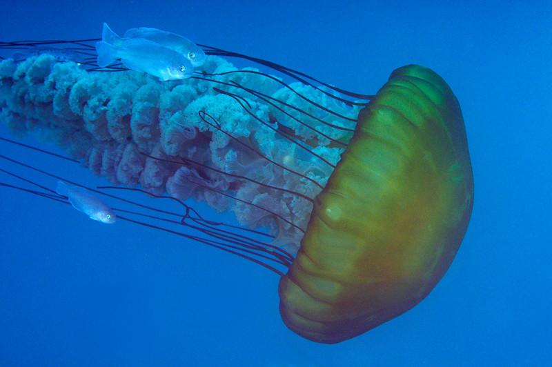 Jelly: Chrysaora fuscescens aka Sea Nettle<br /> Open water, miles offshore, Dana Point