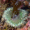 Anemone: Anthopeura sola, Green Anemone feeding (on kelp or bryozoa on kelp or both?)<br /> Pt. Vicente, Palos Verdes, California