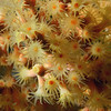 Zoanthid: Parazoanthus lucificum, Zoanthid Anemone.<br /> The Barge, Redondo Beach, Calfiornia