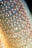 Sea Pen: Stylatula elongata, White Sea Pen polyps<br /> OML Barge, Palos Verdes, California