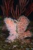 Anemone: Corynactis