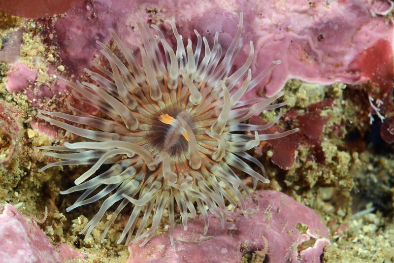 Anemone<br /> Merry's Reef, Redondo Beach, California