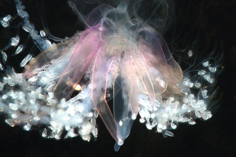Physophora hydrostatica<br /> Merry's Reef, Palos Verdes, California