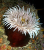 Anemone: Urticina piscivora, Fish-eating Anemone<br /> San Miguel Island, California<br /> ID thanks to Andy Lamb