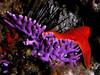 Stylaster californicus, Purple Hydro-coral<br /> Farnsworth Bank, Catalina Island, California
