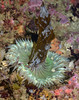 Anthopeura sola, Green Anemone feeding (on kelp or bryozoa on kelp or both?)<br /> Pt. Vicente, Palos Verdes, California