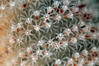 Sea Pen: Stylatula elongata, White Sea Pen polyps<br /> Topaz Pier Pilings, Redondo, California