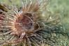 Anemone: Pachycerianthus fimbriatus, Tube-Dwelling Anemone (?)<br /> Catalina