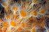 Zoanthid - Epizanthus giveni<br /> Catalina
