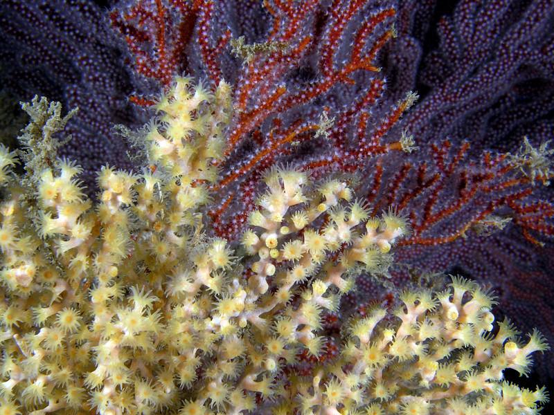 Zoanthid: Parazoanthus lucificum, Yellow Zoanthid infestation on Gorgonian