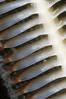 Sea Pen: Stylatula elongata, White Sea Pen polyps, backside showing eggs (?)<br /> OML Barge, Palos Verdes, California