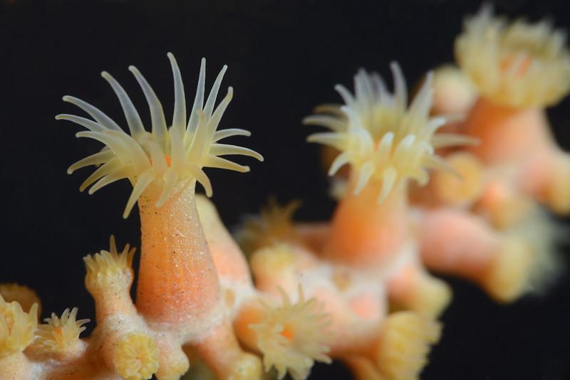 Zoanthid: Parazoanthus lucificum, Zoanthid Anemone<br /> Catalina Island, California