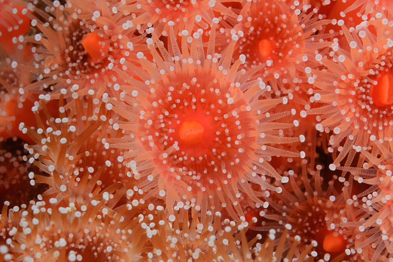 Anemone: Corynactis californica, Club-tipped Anemone<br /> Hawthorne Reef, Palos Verdes, California