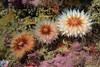 Paracyanthus stearnsi, Brown Cup Corals<br /> Hawthorne Reef, Palos Verdes, California