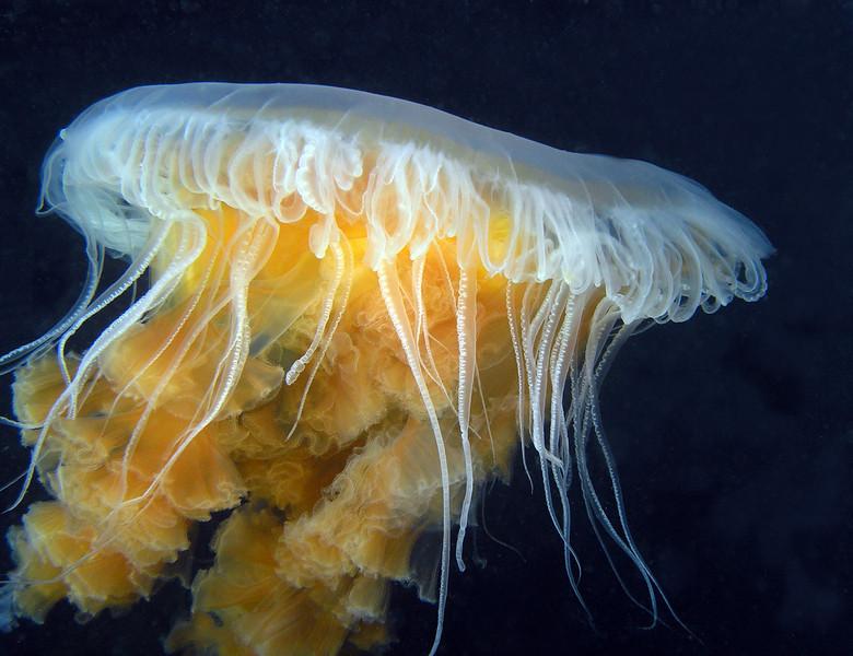 Jelly: Phacellophora camschatica, aka Egg Yolk or Fried Egg Jelly