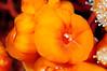 Anemone: Corynactis californica, closed polyps<br /> The Barge, Redondo Beach, California