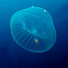 1.ID needed. Jelly with crab hitchhiker<br /> Open water, 4 miles off Dana Point, California