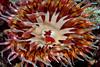 Anemone: Urticina mcpeaki