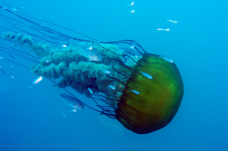 Jelly: Chrysaora fuscescens aka Sea Nettle Jelly, with large 18-inch diameter bell, and train of fish, including Ragfish.<br /> Open water, miles offshore, Dana Point