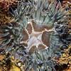 Anemone: Anthopleura sola, Green Anemone<br /> Halfway Reef, Palos Verdes, California