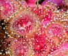 Anemone:  Corynactis californica, Club-Tipped Anemone<br /> The Barge, Redondo Beach, California