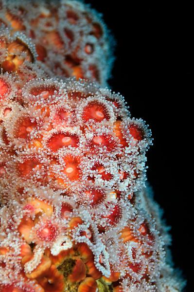 Anemone: Corynactis californica, Club-Tipped Anemone<br /> White Point Rock, Palos Verdes, California USA