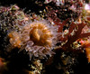 Carophyllia alaskensis, Round Cup Coral<br /> ID thanks to Andy Lamb
