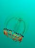 Jelly: Polyorchis spp., Bell Medusa (?)