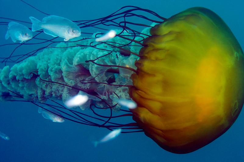 Jelly: Chrysaora fuscescens aka Sea Nettle Jelly, with juvenile medusaefish, Icichthys lockingtoni<br /> Uncropped full frame, 60mm lens<br /> Open water, miles offshore, Dana Point