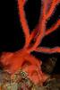 Gorgonian: Lophogorgia chilensis, Red Gorgonian holdfast