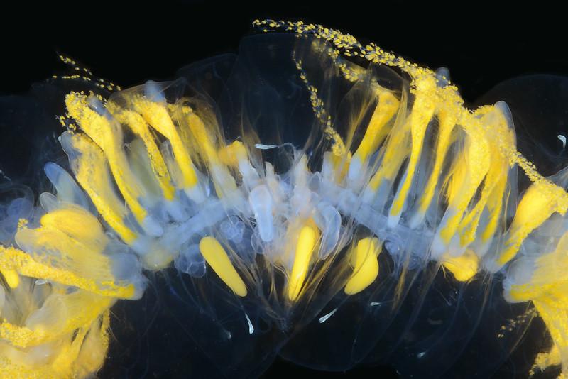 Praya dubia, Giant Siphonophore<br /> Halfway Reef, Palos Verdes, California