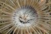 Anemone: Pachycerianthus fimbriatus, Tube dwelling anemone<br /> Garden Spot, Palos Verdes, California