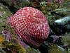 Anemone: Cribrinopsis lofotensis, previously Urticina lofotensis, White-Spotted Rose Anemone<br /> ID thanks to Andy Lamb.