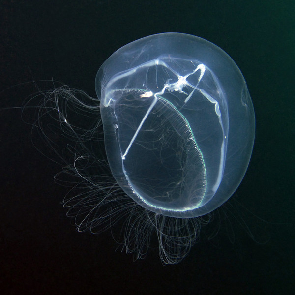 Leptomedusa, ? Eirene mollis Torrey, 1909<br /> Open water dive, 4 miles off Palos Verdes, California<br /> ID thanks to Peter Schuchert, Museum of Natural History, Geneve, Switzerland