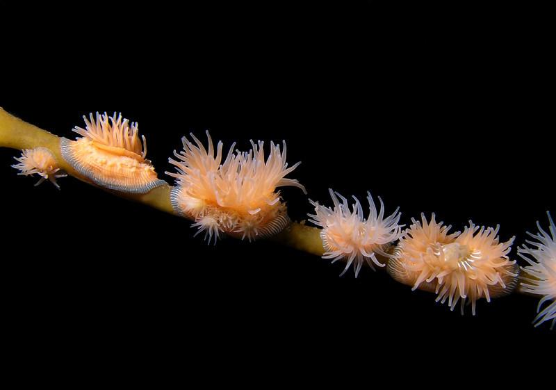 Anemone: Epiactis prolifera, Proliferating anemone<br /> Pt. Loma, California