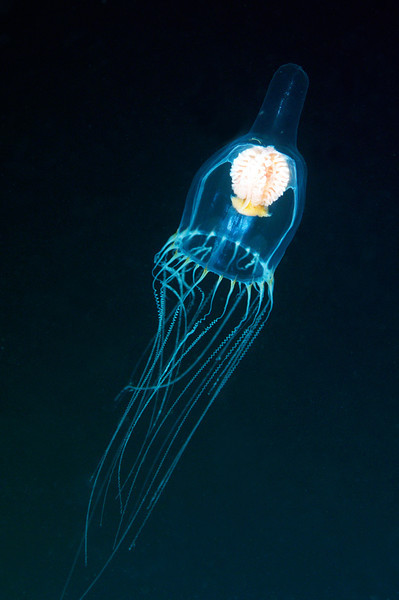 Leuckartiara spp.<br /> Blue water dive, miles offshore Palos Verdes, California USA