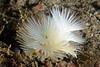 Bispera turneri, shot without snoot<br /> Halfway Reef, Palos Verdes, California