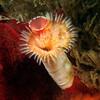 Serpula columbiana, formerly, Serpula vermicularis, Serpulid Worm<br /> T-Pier, Morro Bay, California