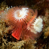 Serpula columbiana, formerly, Serpula vermicularis, Serpulid Worm<br /> Pt. Vincente, Little Reef, Palos Verdes, California