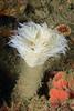 Bispira turneri, emerging from tube<br /> Halfway Reef, Palos Verdes, circa 60'<br /> ID thanks to Leslie Harris